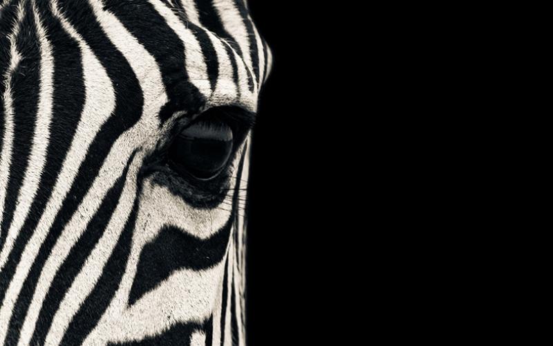 Zebra Gözü Hayvanlar Kanvas Tablo