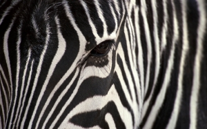 Zebra Makro Hayvanlar Kanvas Tablo