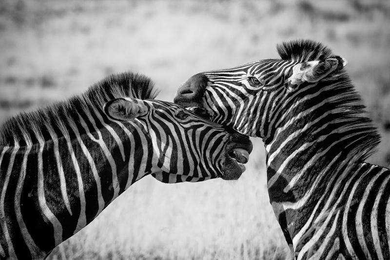 Zebra Sevgi Hayvanlar Kanvas Tablo
