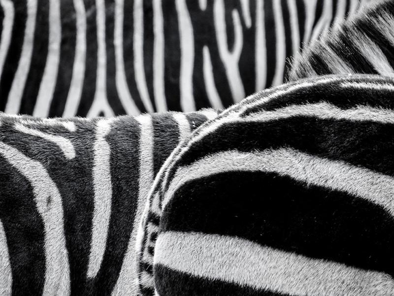 Zebra Siyah Beyaz Fotoğraf Kanvas Tablo