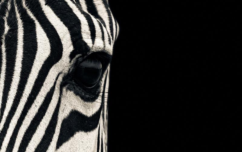 Zebra Siyah Makro Kanvas Tablo