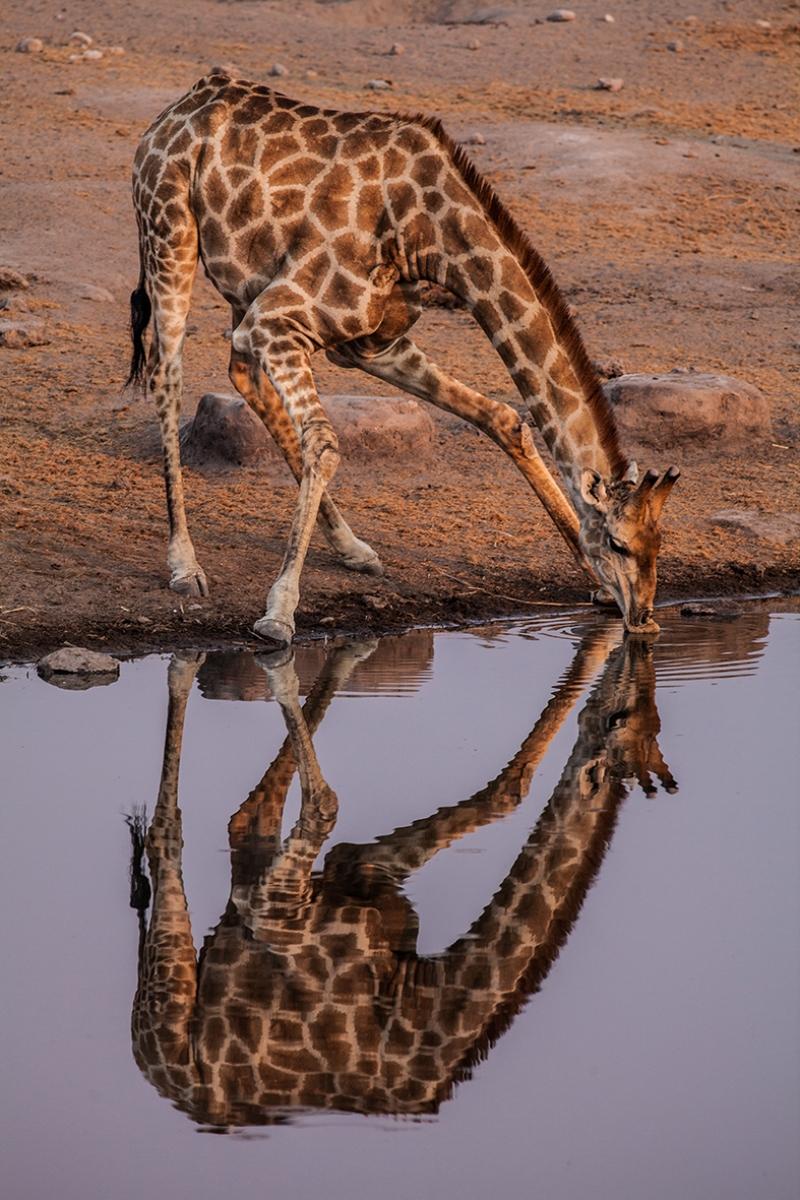 Zürafa Hayvanlar Kanvas Tablo