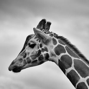 Zürafa Siyah Beyaz Fotoğraf Kanvas Tablo
