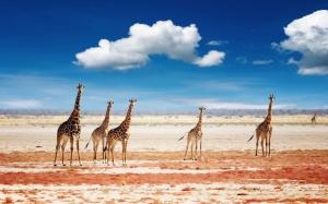 Zürafalar 1 Zürafa Sürüsü Hayvanlar Kanvas Tablo